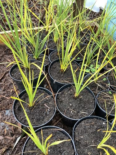 Cordyline Australis (Palm) - 1 x 1 litre potted plant